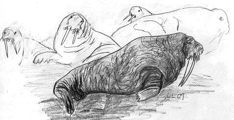Valrossar är stora djur. En hane kan bli upp till 4,5 meter lång och väga 2,4 ton. Betarna kan vara nästan 1 meter långa och är farliga huggverktyg.